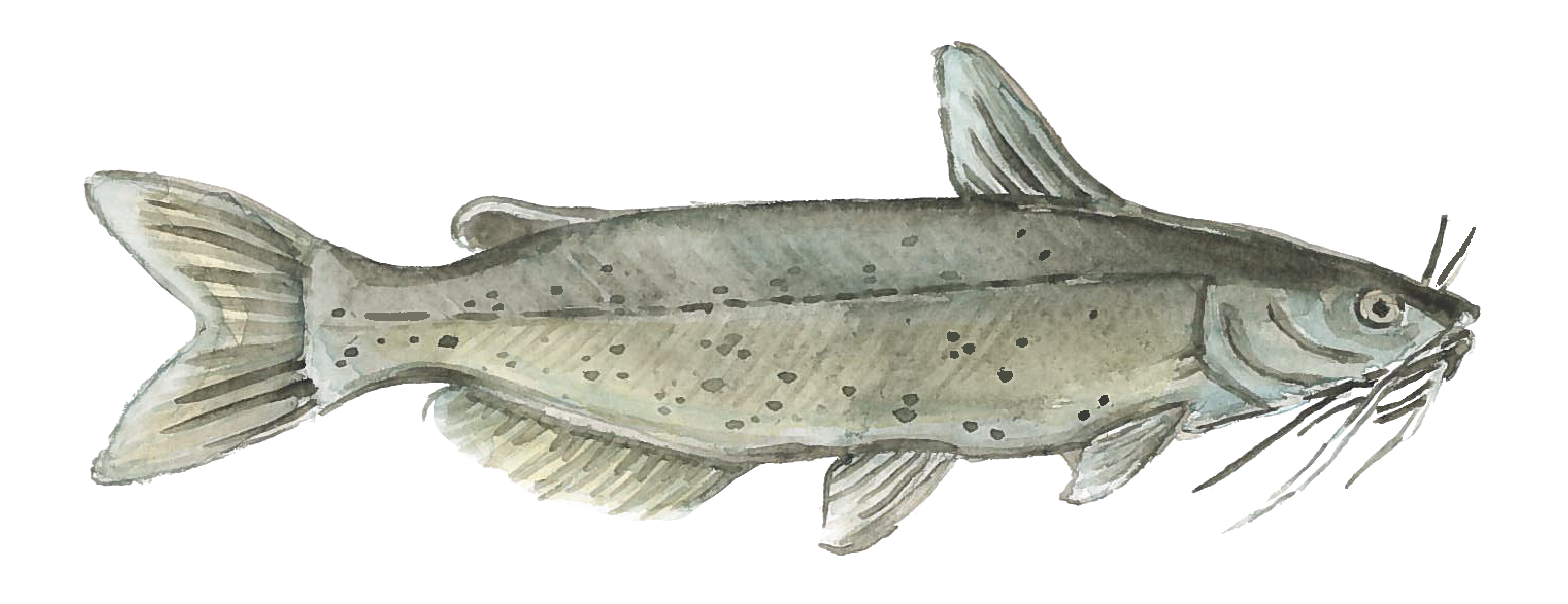 Sustainable Channel Catfish